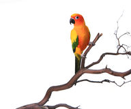 Sun Conure on a Branch. Bold Colored Sun Conure Parrot on a Tree Branch Stock Photos