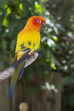 Sun Conure Royalty Free Stock Images
