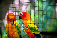 Sun conure in the cage stock photography