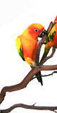 Sun Conure Climbing With It's Beak on a Branch. Sun Conure Climbing With It's Beak on a Tree Branch Stock Photos