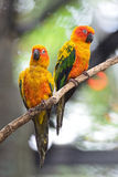 Sun Conure Stock Photos