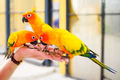 Sun conure Stock Images
