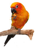 Sun Conure Eating a Cracker Snack Stock Photography