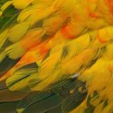 Sun Conure feathers Stock Image