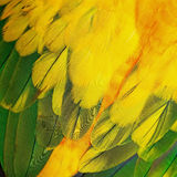 Sun Conure feathers Stock Images