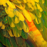 Sun Conure feathers Royalty Free Stock Photo