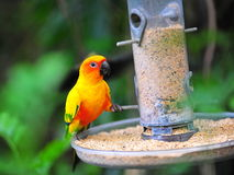Sun conure getting food from container Royalty Free Stock Images