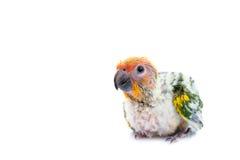 Sun-conure Papagei auf weißem Hintergrund Lizenzfreie Stockbilder