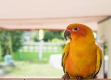 Sun-conure Papageienabschluß oben, schöner gelber Papagei Lizenzfreies Stockbild