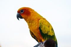 Sun Conure papegoja Royaltyfri Bild