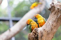 Sun Conure papegoja Arkivfoto