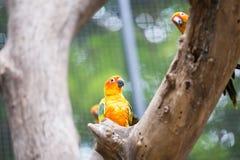 Sun Conure papegoja Royaltyfri Fotografi