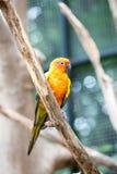 Sun Conure papegoja Arkivfoton