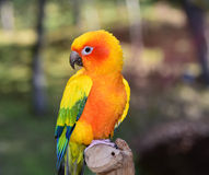 Sun Conure Parakeet Royalty Free Stock Photos