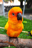 Sun Conure Stock Photography