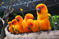 Sun Conure Royalty Free Stock Photography