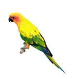 Sun Conure parakeet Stock Images