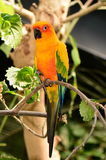 Sun Conure parakeet Royalty Free Stock Image