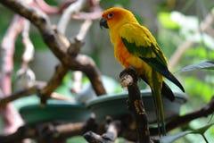 Sun Conure parakeet Stock Image
