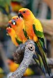 Sun Conure Parrot Stock Photos