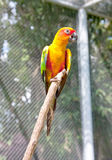 Sun Conure Parrot royalty free stock image