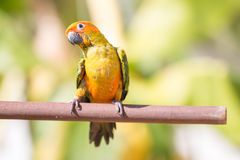 Sun conure parrot Royalty Free Stock Photo