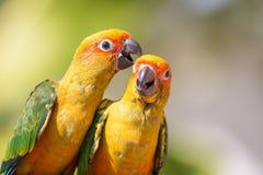 Sun conure parrot Stock Image