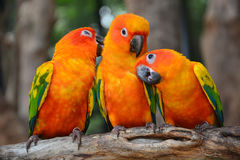 Sun Conure parrot bird Stock Images