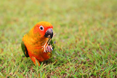 Sun Conure parrot bird chewing dry grass Stock Photos