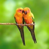 Sun Conure parrot bird Royalty Free Stock Image