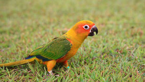 Sun Conure parrot bird Royalty Free Stock Photography