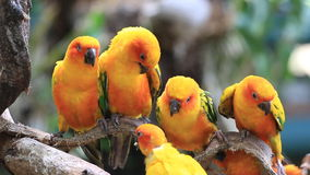 Sun Conure parrot bird group on tree branch. stock video footage