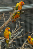 Sun conure parrot. Royalty Free Stock Image