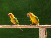 Sun conure parrot birds Aratinga solstitialis  standing perch on the branch. Royalty Free Stock Images