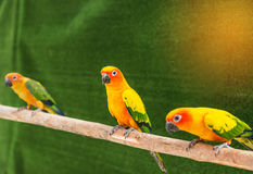 Sun conure parrot birds Aratinga solstitialis  standing perch on the branch. Royalty Free Stock Photo