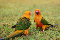 Sun Conure parrot birds together Stock Images