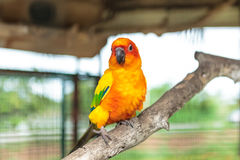 Sun conure parrot Royalty Free Stock Photography