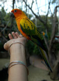 Sun Conure Parrot Eating on Hand Royalty Free Stock Photography