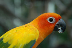 Sun Conure Parrot Eating Royalty Free Stock Image