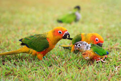 Sun Conure parrot family Stock Image