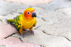 Sun Conure parrot macaw Royalty Free Stock Images
