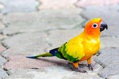 Sun Conure parrot macaw Stock Photo