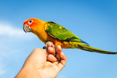 Sun Conure Parrot Stock Photography