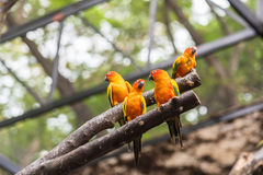 Sun Conure parrot is standing at dry branch.  Royalty Free Stock Photo