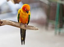 Sun Conure Parrot Stock Photo