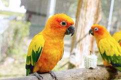 Sun Conure Parrot on a Tree Branch Royalty Free Stock Images