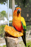 Sun Conure Parrot on a Tree Branch Stock Images
