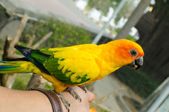 Sun Conure Parrot on a Tree Branch Stock Photos