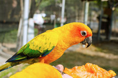 Sun Conure Parrot on a Tree Branch Stock Image