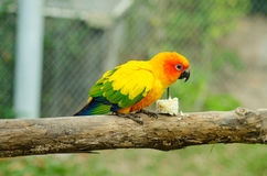 Sun Conure Parrot on a Tree Branch Stock Photography
